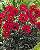 Dahlien Happy Single 'Romeo' (5 Knollen), ideal für Container, Schnittblumen, Blooms Sommer auf Fall