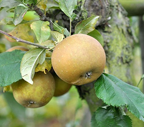 egremont-russet-apple-tree-4-5ft-tall-self-fertileready-to-fruithardy-vigorous