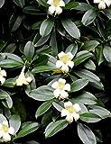 Kisshes 10pcs/Pack Jasmin Blumen Samen Weiße Jasminsamen Duft Blumen Mehrjährig Pflanzen Samen Blumensamen Indoor Balkon Garten Strauch Aromatische Duftblumensamen 7 Sorten