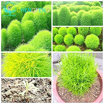 Vente! 50pcs Bush Kochia Scoparia Seeds Red graminées vivaces semences Bonsai Garden plantes ornementales cadeaux Colorful Easy Grow