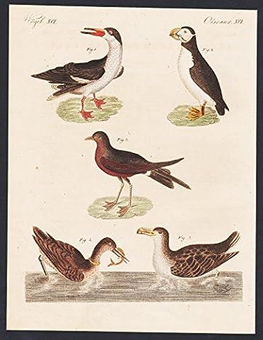 Atlantic puffin storm petrel black skimmer engraving antique print Bertuch