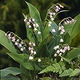 Maiglöckchen rosa - Convallaria majalis rosea Pflanze winterfest als Wurzelware - Maieriesli pflegeleicht, robust, schöner Duft - 3 Wurzelstöcke von Garten Schlüter - Pflanzen in Top Qualität