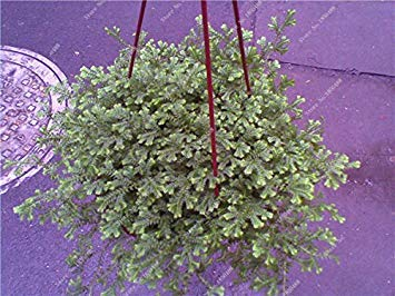Daisy-04-farbe (VISTARIC 4: 100 Stück Multi-Farben Variety Daisy Samen Hardy Pflanzen 'Bellis Tasso' Daisy Blumensamen Exotische Zierblumen Bonsai Samen 04)