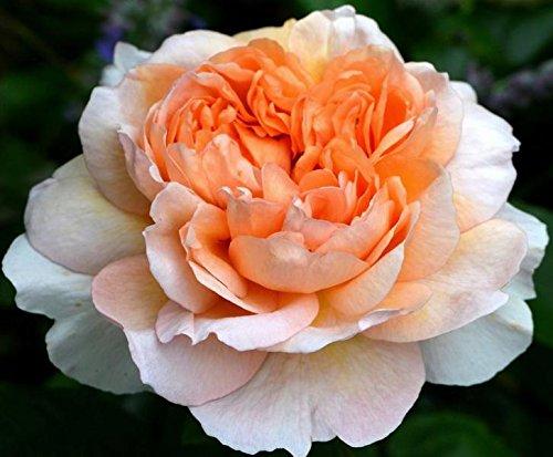 Pianta di rosa THE LADY GARDENER rosai rosaio rose giardino cespuglio siepe