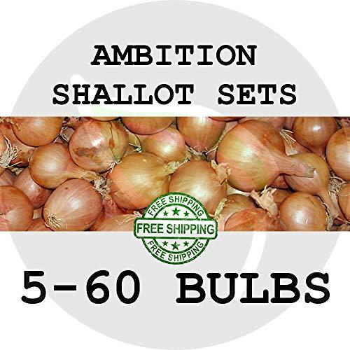 Seeds: 30: Imposta di Semi AMBIZIONE Scalogno, Giardino Semi di moltiplicatore di Cipolla scalogno Semina