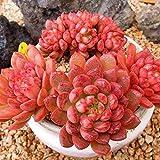 Keland Garten - Rot Sukkulenten Samen Hauswurz Echeverie winterhart Blumensamen, geeignet auch für alte Schuhen oder Dachziegeln