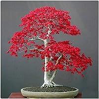 AUTFIT semillas de arce 20pcs américa arce rojo semillas America maple Seeds para bonsai, balcón, jardín (Acer rubrum L)