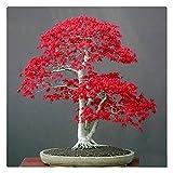AUTFIT Ahorn Samen 20pcs Amerika Ahorn Samen Rot Maple Seeds für Bonsai, Balkon, Garten (Acer rubrum L)