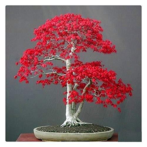 AUTFIT acero 20 semi acero rosso America semi per bonsai, balcone, giardino (Acer rubrum L)