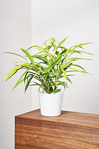 evrgreen-birkenfeige-ficus-benjamini-zimmerpflanze-in-hydrokultur-im-set-inkl-keramiktopf-weiss-ficu