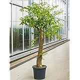 suchergebnis auf amazon.de für: zimmerpflanzen groß: garten - Grose Wohnzimmer Pflanzen