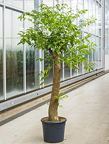 Heteropanax 110-140 cm im 31 cm Topf große Zimmerpflanze für Hell-Halbschatten Heteropanax chinensis 1 Pflanze Große Topfpflanzen