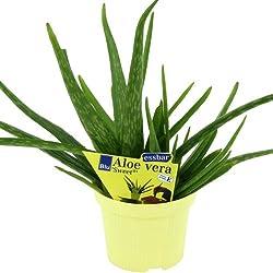 """Planta Aloe vera """"dulce"""", tipo Aloe vera Barbadensis Miller. 2unidades."""