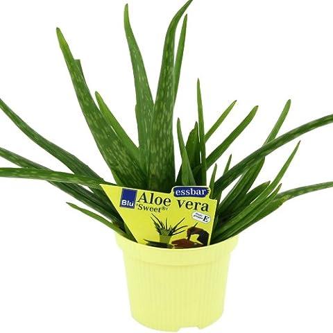 L'Aloe vera barbadensis Miller, « Doux », l'aloe vera 2 plantes