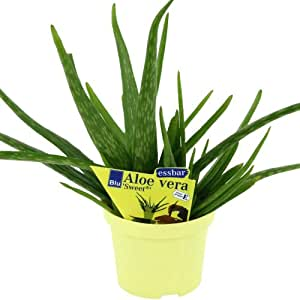 aloe vera 39 sweet 39 aloe vera barbadensis miller 2 plant. Black Bedroom Furniture Sets. Home Design Ideas