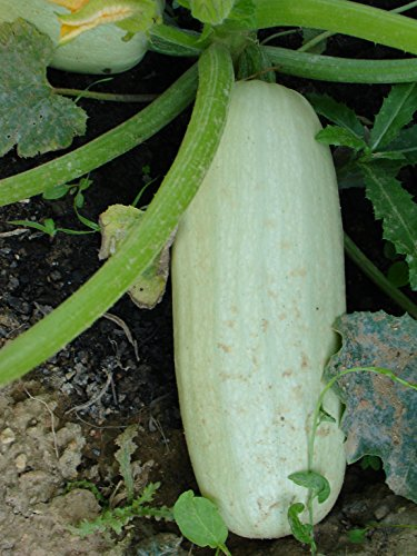 Hungarian White Meat Squash, Large Revenue, Short Time to Grow, 10 graines