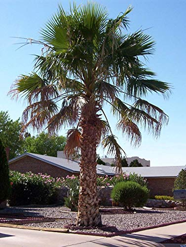 vegherb Mexican Fan Palm, Washingtonia Robusta, schnell! 20 Samen