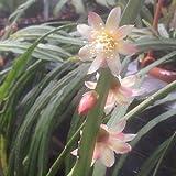 Lepismium bolivianum (Epicactus) - Talea 10 cm
