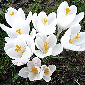 potseed 2 pezzi gladiolus bulbi, gladiolo fiore (non gladiolo seed) beautiful flower bulbi simboleggia nostalgia, casa giardino delle piante 11