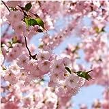 Seedeo Japanische Blüten- und Zierkirsche (Prunus serrulata) 25 Samen