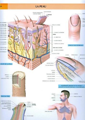 Le corps humain, planches murales d'anatomie. La peau par P. Kamina