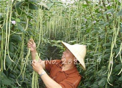 10 Pcs Multi Color long haricots Graines santé Graines de légumes biologiques, la croissance naturelle pour jardin délicieux Bon savoureux 20