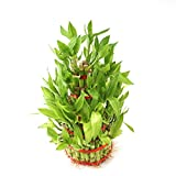 #6: Ugaoo Lucky Bamboo Plant - 5 Layer