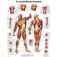 3B Scientific Impreso En Papel, la Musculatura Humana