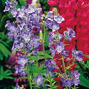 SANHOC Samen-Paket: Jakobs Leiter - Polemonium caeruleum - Seed