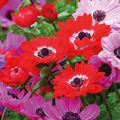 Samen Paket: 75 Birnen: Anemone Birnen n Hardy Spring Flower St Bridgid bles Packungen mit 75, 150 T & M