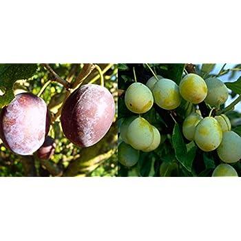 aromatischem Geschmack Halbstamm BellamiraⓇ im Topf Mirabelle mit s/ü/ßem 150-170cm