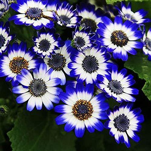 MEIGUISHA Gartensamen-Gänseblümchen saatgut Blume Pflanze winterhart mehrjährig Blumensamen für Garten Balkon (20,Blau)