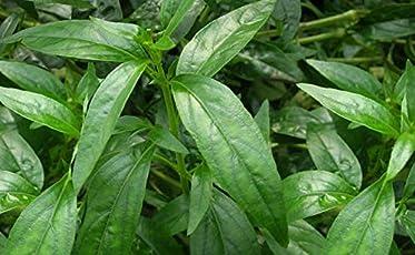 Siriyanangai/Kariyat / Nilavembu Medicinal Plant - 1 Healthy Live Plant