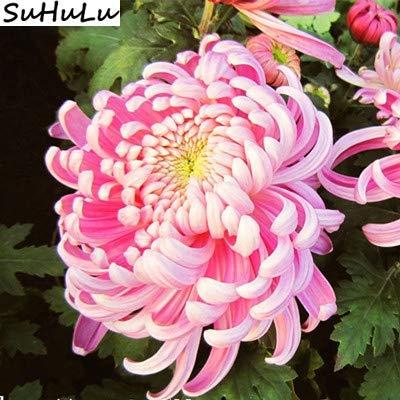 Bloom Green Co. Japonais rare couleur arc-en-fleur de chrysanthÚme Bonsai d'ornement Bonsai Nouveau jardin de fleurs de chrysanthÚme en pot Plante 100 pcs: 10
