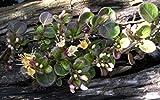 Lonicera crassifolia - Kriechende Heckenkirsche -