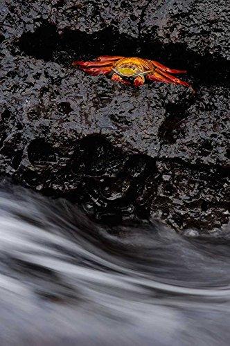 The Poster Corp Pete Oxford - Sally Lightfoot Crab in Rock Crevice Santiago Island Galapagos Islands Ecuador Kunstdruck (50,80 x 71,12 cm) - Sally Lightfoot Crab