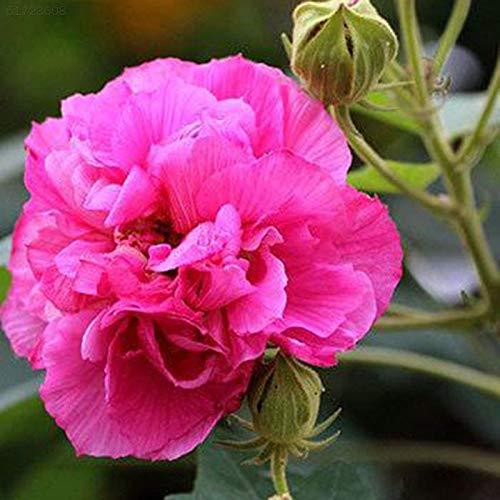 Portal Cool 07Cb 3Aac Plantseed Garten Hibiscus Topfpflanzen Verschönerungen Seed Blume - Hibiscus Topfpflanze
