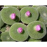 2017 Semillas Semillas Nueva suculentas, perenne, flor de cactus en maceta de flores para jardín fácil de cultivar-50 PC Semillas De Flores 7