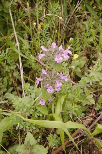 JustSeed - Wild-Blume - Wirbeldost - Clinopodium vulgaris - 15000 Samen