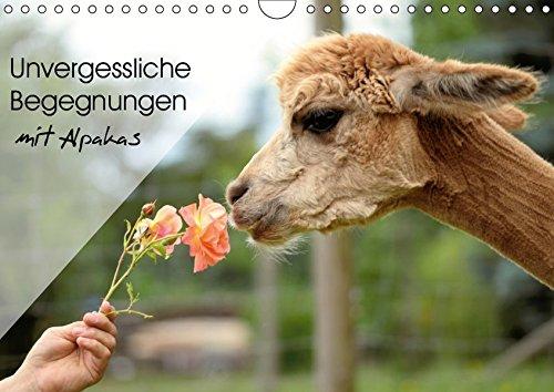Unvergessliche Begegnungen mit Alpakas (Wandkalender 2019 DIN A4 quer): Unvergessliche Begegnungen für die Alpakas - und für Sie. (Monatskalender, 14 Seiten ) (CALVENDO Tiere)