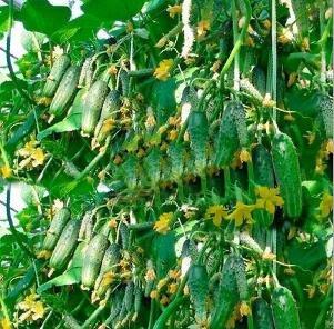 Toutes sortes de melons concombre graines de concombre longs japonais graines de légumes pour les légumes à la maison pour la plantation maison et jardinage 30 pcs concombre