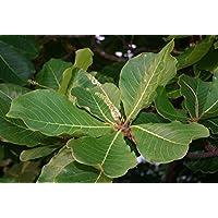 Asklepios-seeds® - 5 Semillas de Terminalia catappa Almendro malabar, almendro de los trópicos, almendrón, falso kamani, Egombegombe