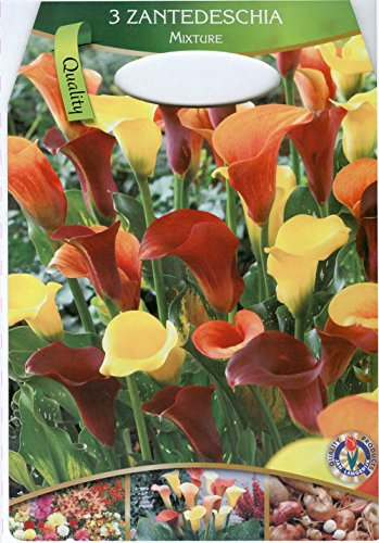 Dominik Blumen und Pflanzen, 786237 3 x 3 Zantedeschia, Calla Mischung