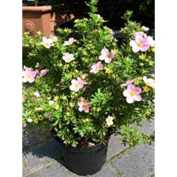 rosa bl hender f nffingerstrauch potentilla princess 30 cm hoch im 3 liter pflanzcontainer. Black Bedroom Furniture Sets. Home Design Ideas