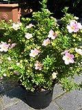 rosa blühender Fünffingerstrauch Potentilla Princess 30 cm hoch im 3 Liter Pflanzcontainer