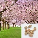 GEOPONICS Japanee akura (errulata Prunu) ing cereza cereza Bonai Bloom FYJJ0158Y5 seedl semilla