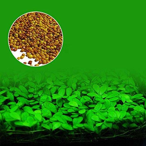 ser Gras Samen Gartenpflanze Aquarium Grassamen Indoor Beautifying Pflanzensamen ()