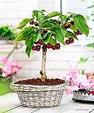 HONIC 20Pcs ciliegio Bonsai impianto di Frutta Grande ciliegio Sano Albero pianta frutto dei Bonsai Giardino di Famiglia piantare in Vaso
