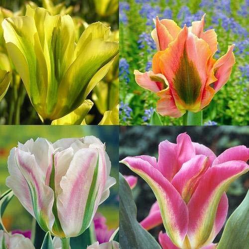 Viridiflora Tulpen Kollektion - 40 blumenzwiebeln