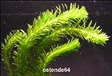 5 Bunde schöne Dichtblättrige Argentinische Wasserpest / Egeria Densa im Bund